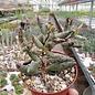 Adromischus filicaulis ssp. filicaulis  Mesklip