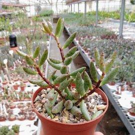 Adromischus filicaulis ssp. filicaulis PAV s.n. Tweeriver, Northeast of Khamieskroon, Clone 1