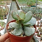 Adromischus maculatus aff.