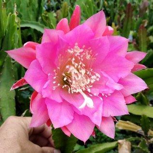 Epiphyllum-Hybr. Hanni Paetz