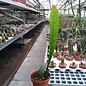 Disocactus horichii  I.S.I  1432 Costa Rica