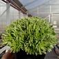 Rosularia pallida       (dw)