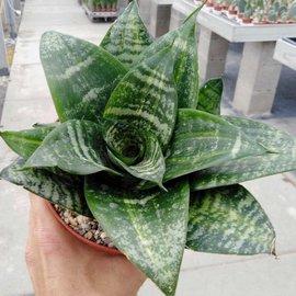 Sansevieria trifasciata  cv. Green Hahnii