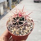 Ferocactus X lecontei  Born 453