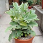 Kalanchoe beharensis  cv. Silver Shadow