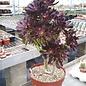 Aeonium arboreum v. atropurpureum XL
