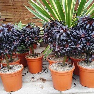 Aeonium arboreum cv. Schwarzkopf XL v. atropurpureum