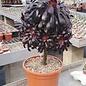 Aeonium arboreum v. atropurpureum cv. Schwarzkopf XL