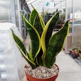 Sansevieria trifasciata cv. Laurentii