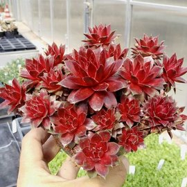 Sempervivum Red Rubin       (dw)