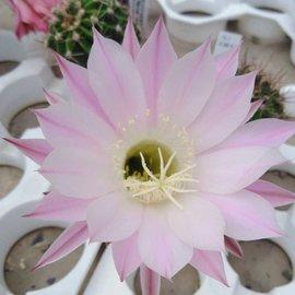 Echinopsis-Hybr. Werner  rosa