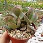 Adromischus triflorus cv. Moltorosso