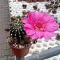 Echinopsis-Hybr. Rosenfee Serie 331 Gräser