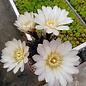 Gymnocalycium chubutense  WP151-233 Trelew, Gaiman, Chubut, Argentinien