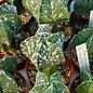 Astrophytum myriostigma nudum cv. Hakuun   gepfr.