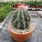 Melocactus caesius mit Cephalium
