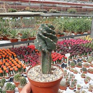 Cereus peruvianus tortuosus