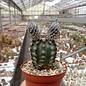 Echinocereus fitchii  SB 853 Jim Hogg Co., TX
