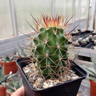 Echinocereus roemeri       (dw)
