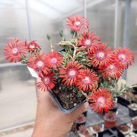Delosperma cv. Red Fire       (dw)