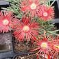 Delosperma Red Flame       (dw)