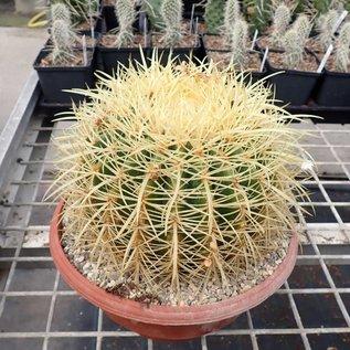 Echinocactus grusonii XL