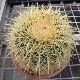 Echinocactus grusonii XXL