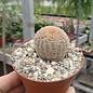 Echinocereus rigidissimus v. albiflorus