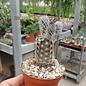 Echinocereus fitchii