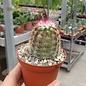 Echinocereus pectinatus  v. wenigeri ctenoides
