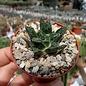 Ariocarpus bravoanus ssp. hintonii     CITES, not outside EU
