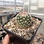 Escobaria vivipara v. arizonica LZ 392 Fishlake Mountains, UT, um 3000 m, feliger Boden    (dw)