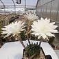 Echinopsis-Hybr. Eva