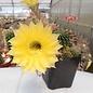 Echinopsis-Hybr. `Yellow Star` Serie 302