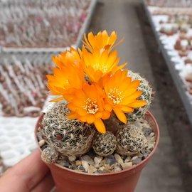 Sulcorebutia breviflora v. (Blüte orangegelb) L 314 Rio Caine, Bolivien