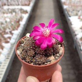 Sulcorebutia callichroma HS 078 v. callichroma Presto, Chuquisaca, Zudanez, Bolivien, 2750 m, bis 2019 noch als pulchra bezeichnet