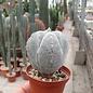 Astrophytum myriostigma cv. Onzuka quadricostata