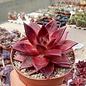 Echeveria agavoides cv. Atlas Rosso