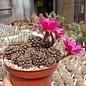 Lobivia tiegeliana v. ruberrima WR 084 Tarija, Tarija, Bolivia