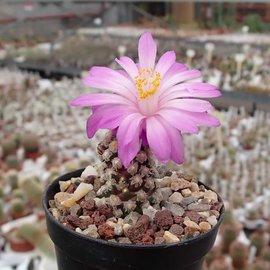Mammillaria theresae   Coneto Pass, Durango, Mexico