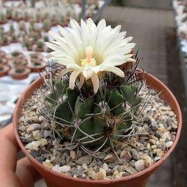 Neochilenia paucicostata  v. viridis