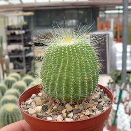 Notocactus leninghausii cv. nudum
