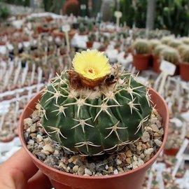 Notocactus sellowii fa. pauciareolatus