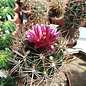 Ferocactus fordii   Baja California