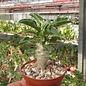 Pachypodium lealii  ssp. saundersii