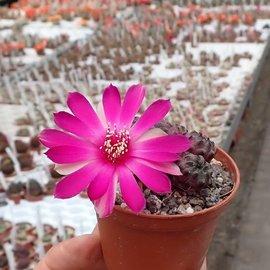 Sulcorebutia rauschii cv. Violacidermis WR 289 Chuquisaca, Sucre, Bolivien