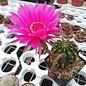 Echinopsis-Hybr. Siegfried  Rheingold 258