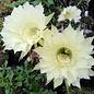 Echinopsis-Hybr. Buttermilk