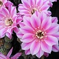 Echinopsis-Hybr. `Brigittes Beauty`  Schick Hybride