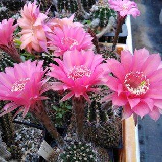 Echinopsis-Hybr. Belle Rose  Rheingold 213